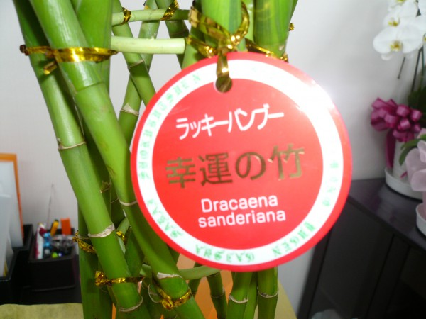 20140915191123幸運の竹 (2)